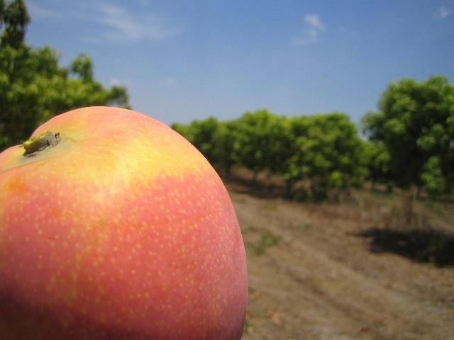 Mango (source: Tou's Garden, photo gallery season 2009-10)