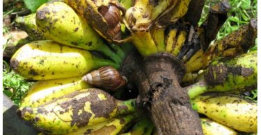 Giant African Snails consuming banana (Dean Stronge)