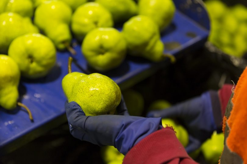 Packing pears (Apple and Pear Australia/Flickr CC BY 2.0)