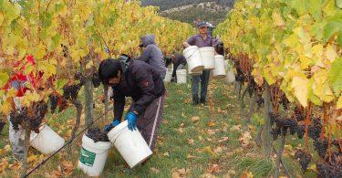 Wine grape harvest at Granton Vineyard, Tasmania (Stefano Lubiana/Flickr/CC BY 2.0)
