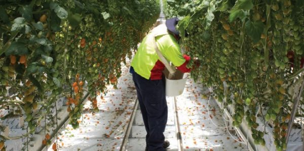 A Ni-Vanuatu worker picking tomatoes at a tomato farm in Guyra, NSW (Credit: Vedrana Music)