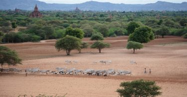 Bringing the herd in at sunset, Bagan, Myanmar (Alex Berger/Flickr/CC BY-NC 2.0)