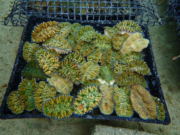 One year old giant clams in the hatchery in Samoa (Credit: Anne Moorhead)