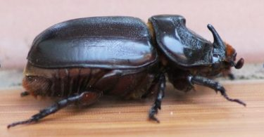Adult female coconut rhinoceros beetle (Credit: Bob Macfarlane)