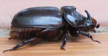 Adult female coconut rhinoceros beetle (Credit: Bob Macfarlane)