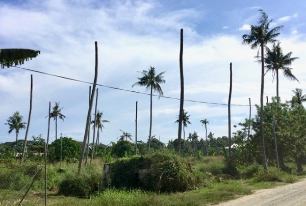Dead and affected coconut trees near Henderson, Honiara (Credit: Bob Macfarlane)