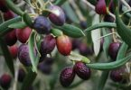 Kyneton Olives (Alpha Fickr CC BY-SA 2.0)